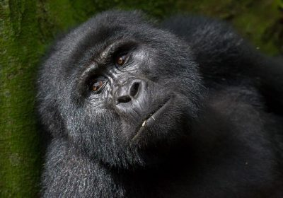 Gorillas In Bwindi Forest 400x280