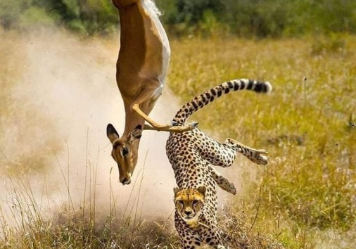 Impala Vs Cheetah