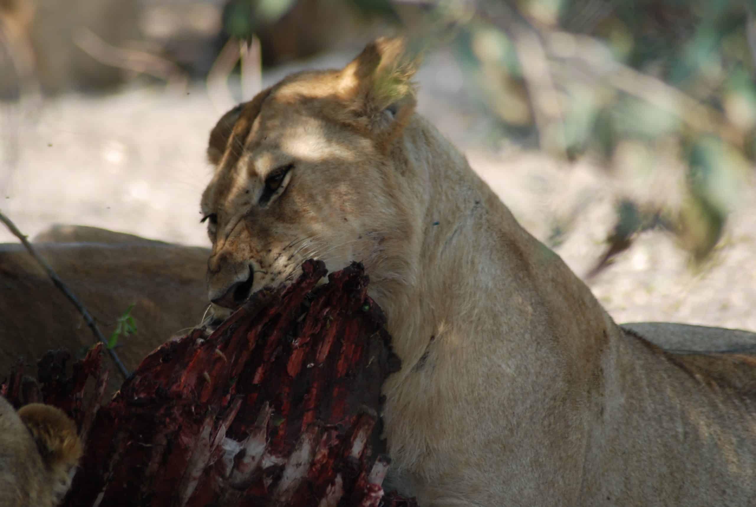 #lionsafari
