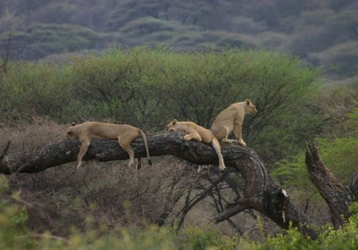 Manyara National Park Tree Climbing Lion