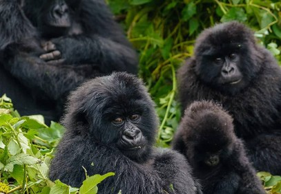 3-Day Ultimate Gorilla Safari in Bwindi National Park