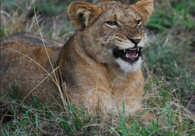 Queen Lions 400x280