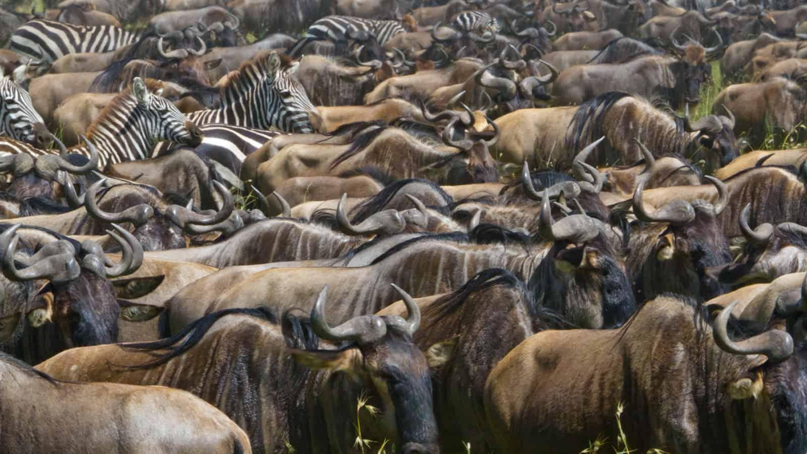 Serengetis Kusiniplains