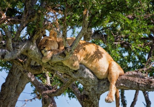 Sleepy Tree Climbing Lion In A Tree Masai Mara Kenya Uai 720x480