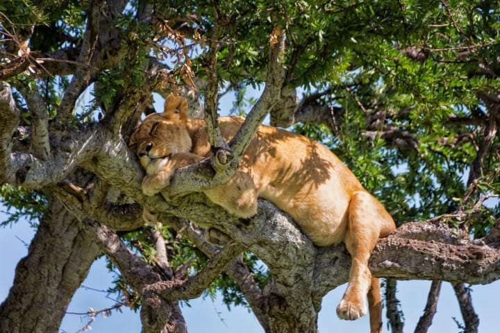 Sleepy Tree Climbing Lion In A Tree Masai Mara Kenya Uai 720x480