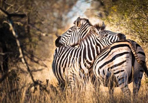 Two Zebras (1)
