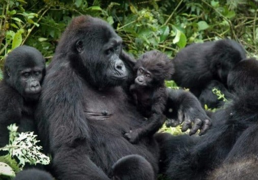 Uganda Gorilla Permits Rates Increase