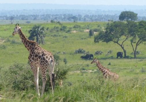 View Giraffe Elephants