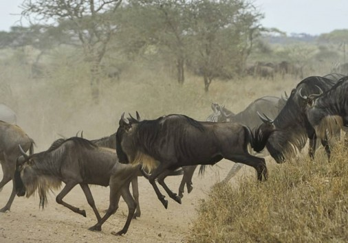 Wildebeest Migration