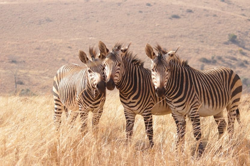 Zebra On Brown Grass Field 4005183