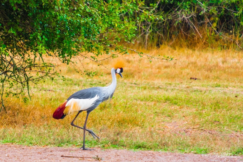 Grey Crested Crane in Lake Mburo National Park, Uganda @Amina Mohamed Photography