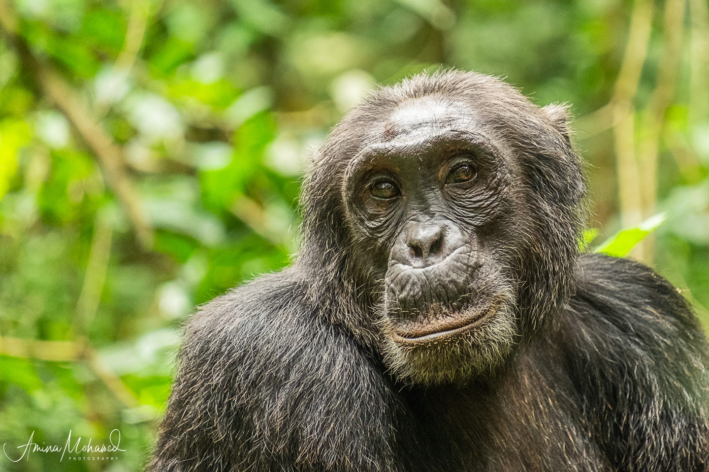 Male Chimp in Kibale National Forest @Amina Mohamed Photography