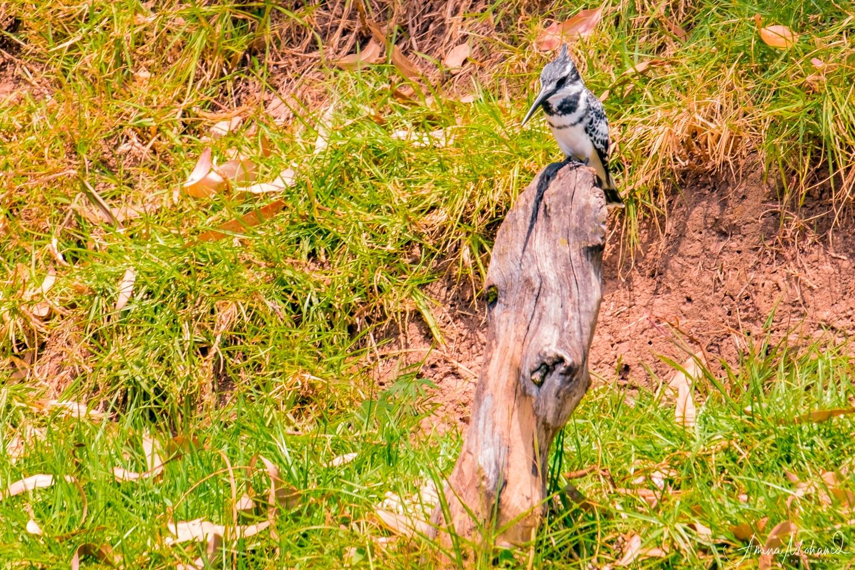 Kingfisher on Lake Bunyoni, Uganda @Amina Mohamed Photography
