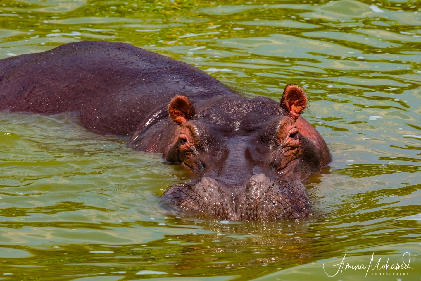 Hippo wading in the Kazinga Channel @Amina Mohamed Photography