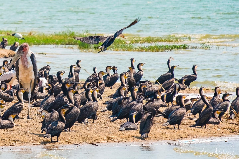 Shore birds on the Kazinga Channel Uganda @Amina Mohamed Photography