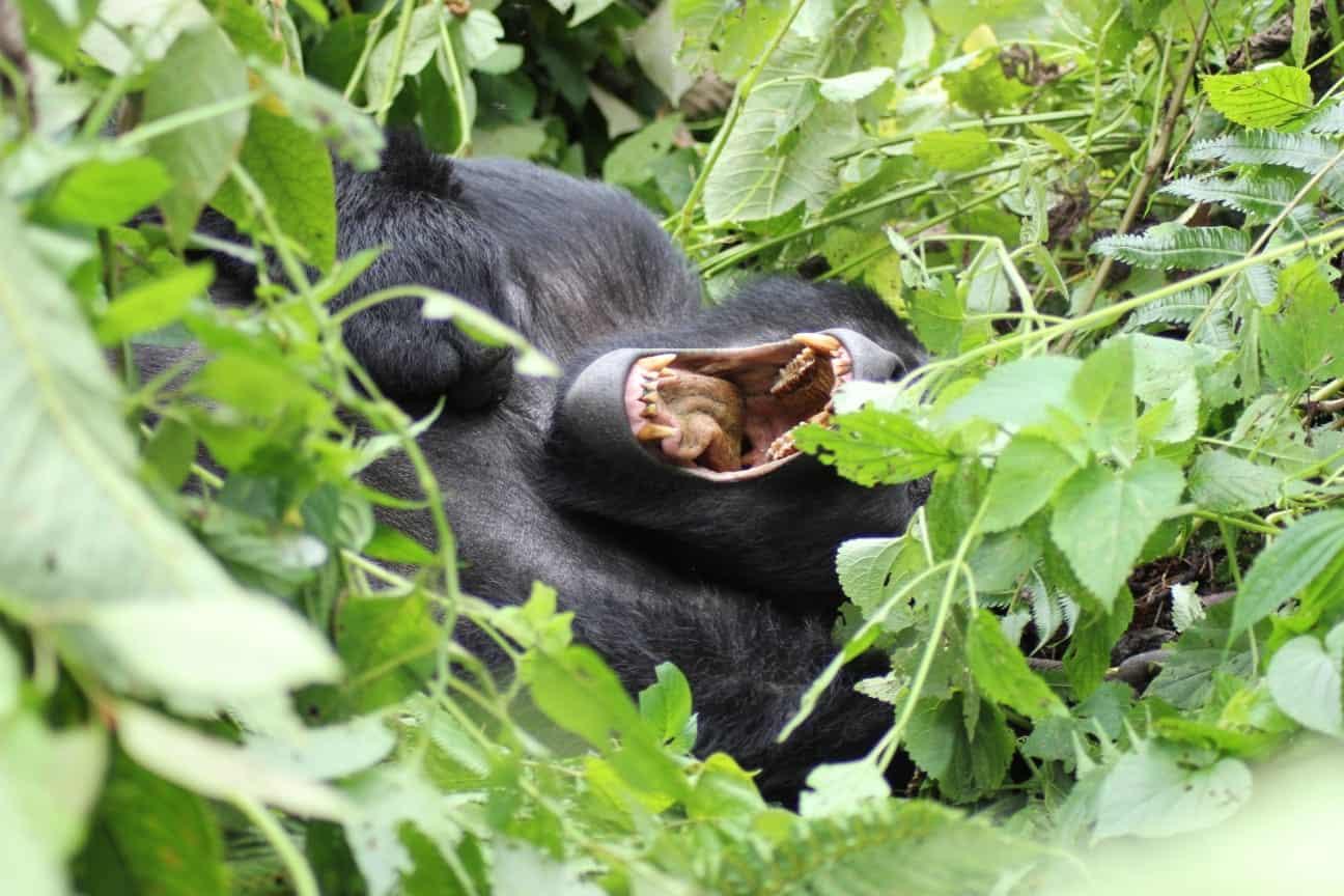 Gorilla Tracking In Bwindi