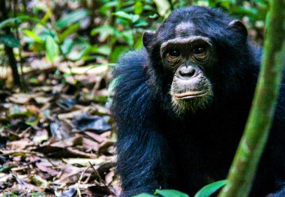 2-Day Chimpanzee Tracking Experience