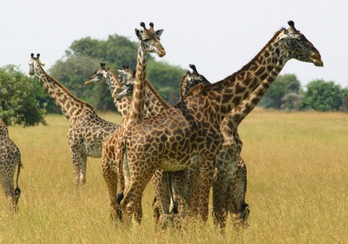 The Giraffe In Western Serengeti