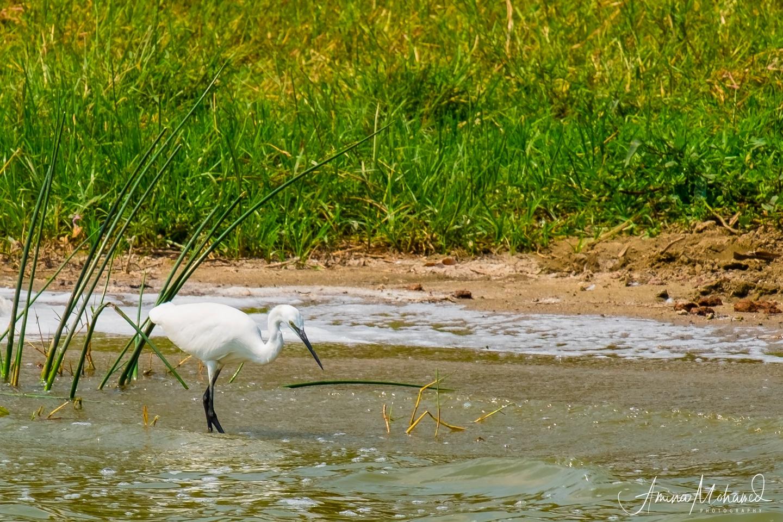 White Egret On The Shores Of The Kazinga Channel @Amina Mohamed Photogaphy