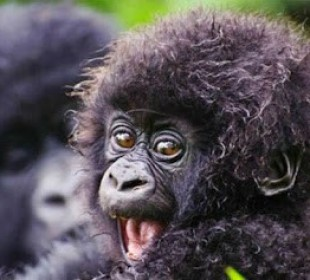 3-Day Gorilla Habituation Experience