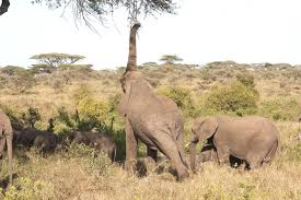 Elephant Trying To Feed From High Branches