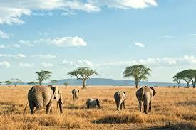 Elephants In Sere
