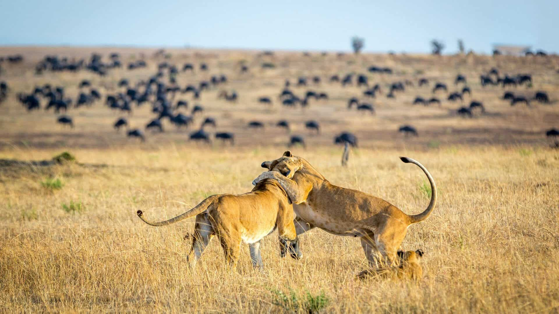 Lioness Playing With Cubs Serengeti National Park Tanzania 1920x1080