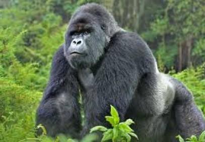 2-Day Wild Gorilla Trekking Rwanda