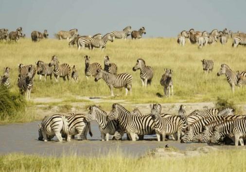 Zebra Botswana Shutterstock 1107970364 1680x1050