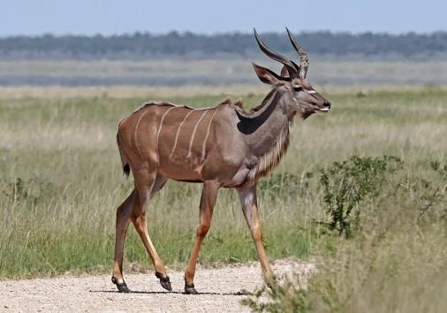 1200px Greater Kudu (tragelaphus Strepsiceros Strepsiceros) Young Male