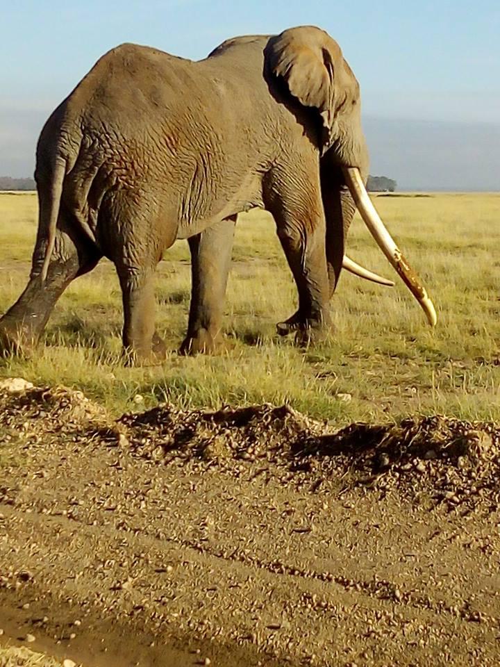 2 Elephant Copy