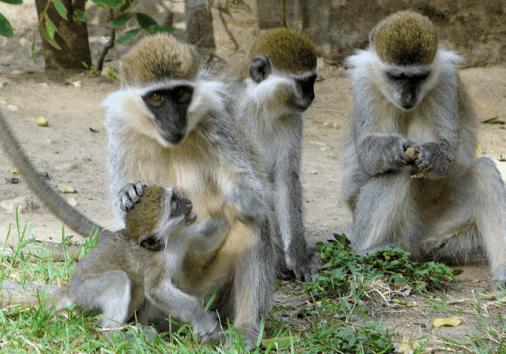 Bale Monkeys Inside Bmnp, Ethiopia