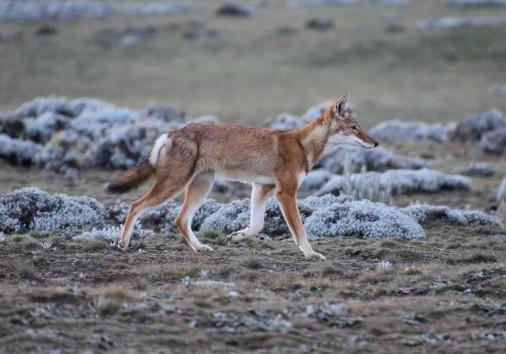 Ethiopian Wolf At Sanetti Plateau