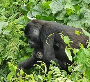 Great Apes & Uganda Savannah Luxury Safari
