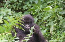 1-Day Gorilla Safari