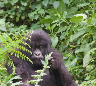 1-Day Gorilla Safari