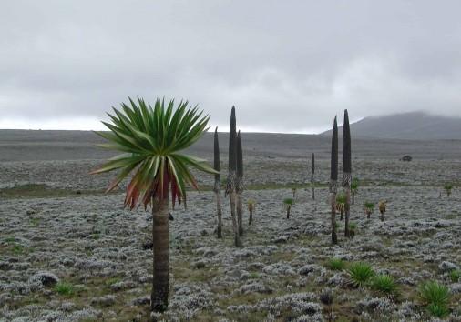Lobelia Bale Mountain Ethiopia