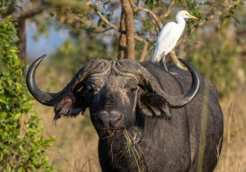 Rwanda 25 Years On Magashi Camp Buffalo C. Wilderness Safaris 1 1024x683