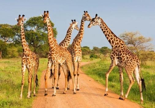 Tarangire National Park Giraffes