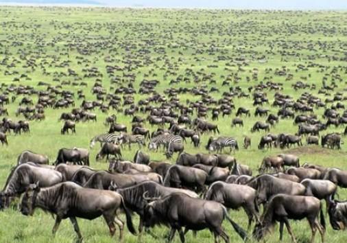 Wildebest Migration 2