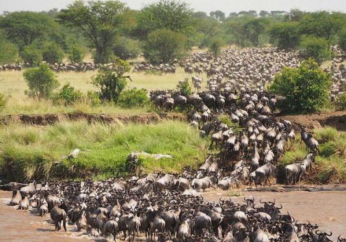 Wildebest Migration