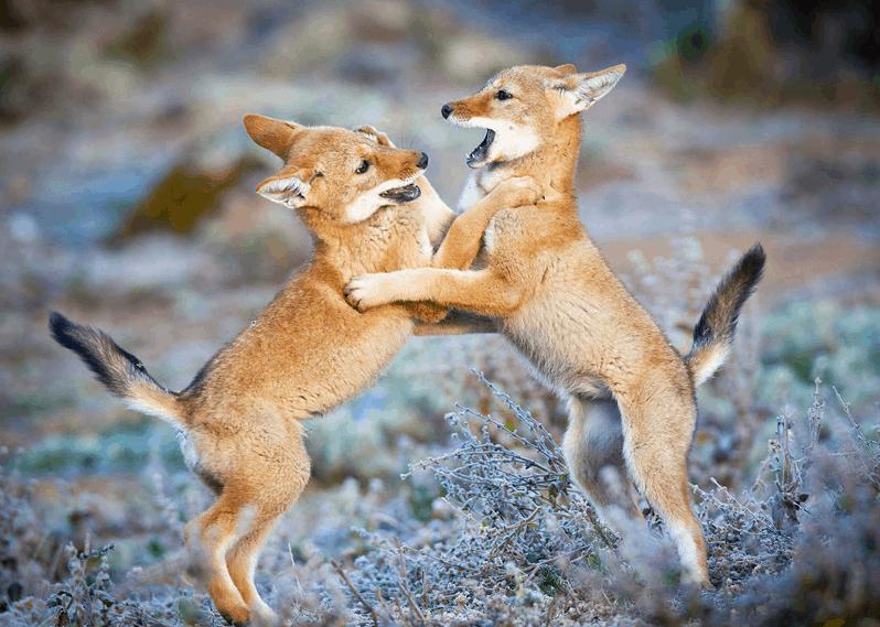 Wildlife, Bale Mountains National Parks, Ethiopia