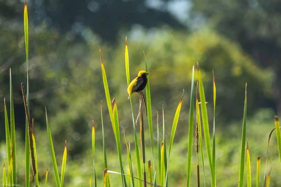 Yellow Singed Bishop