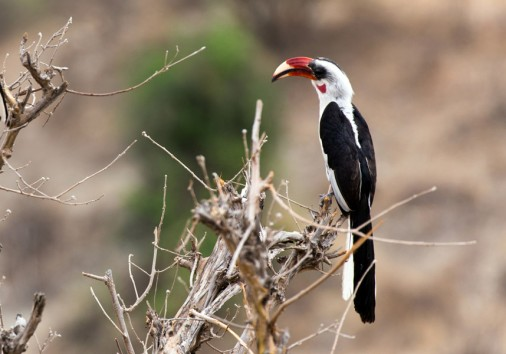 Africa Tanzania Tarangire National Park Gallery Von Der Decken Hornbill