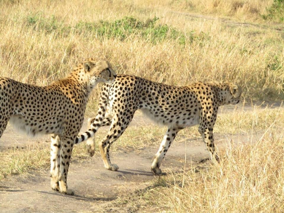 Cheetah 2 2