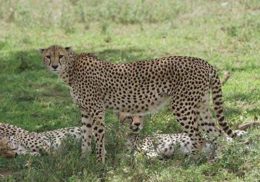 Cheetahs At Seronera