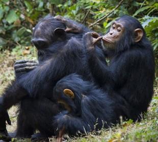 4-Day Gombe Chimpanzee Trekking