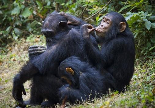 Chimpamzee