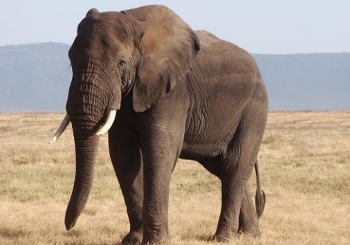 Elephant In Ngorongoro