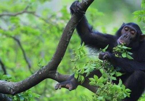 Gombe Chimp
